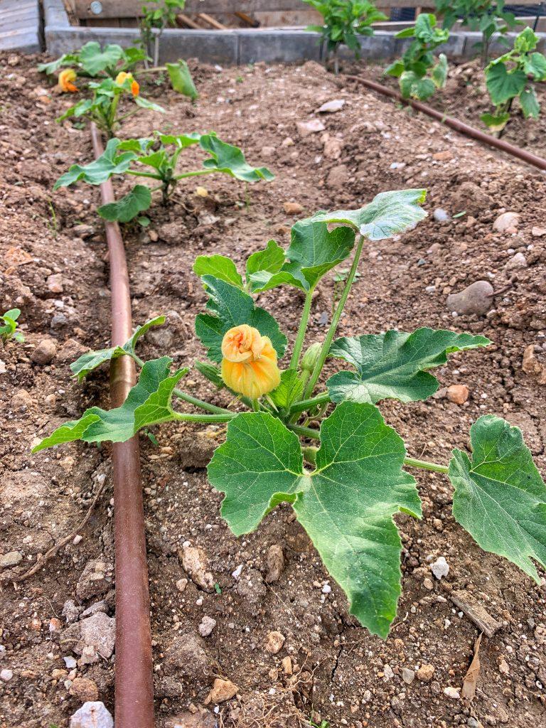 градина-домашен-цвят-тиквичка